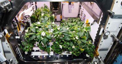 На борту МКС  вырастили впервые перец
